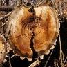 Zbyt dużo wyciętych drzew